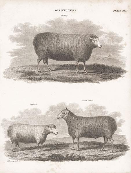 Two Sheep I