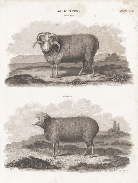 Two Sheep II
