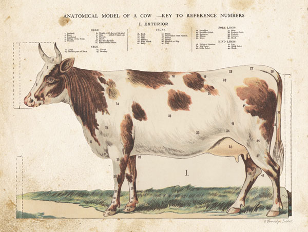Anatomical Model Cow