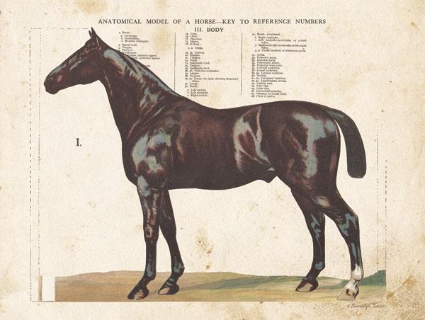 Anatomical Model Horse