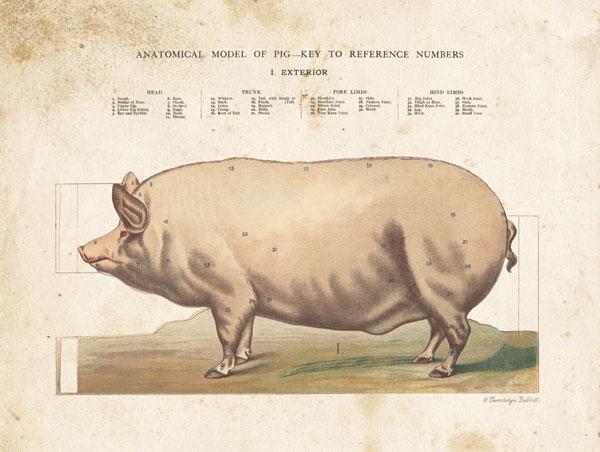Anatomical Model Pig