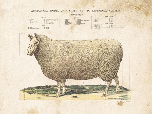 Anatomical Model Sheep