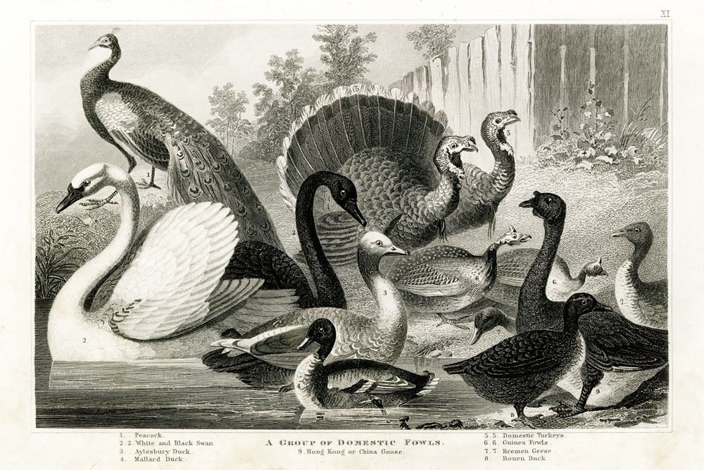 1800's Poultry Chart