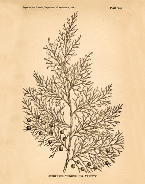 Vintage Botanical X