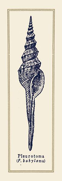 Pleurotoma Shell II