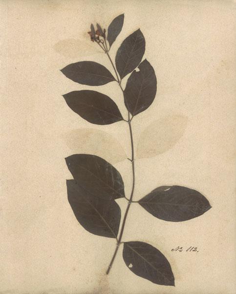 Pressed Botanical I