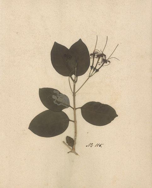 Pressed Botanical II