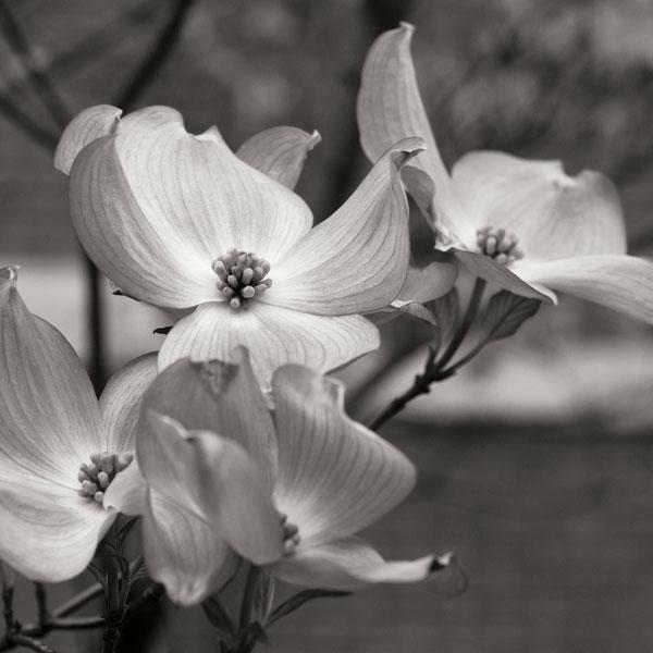 Dogwood Blossoms I BW Sq