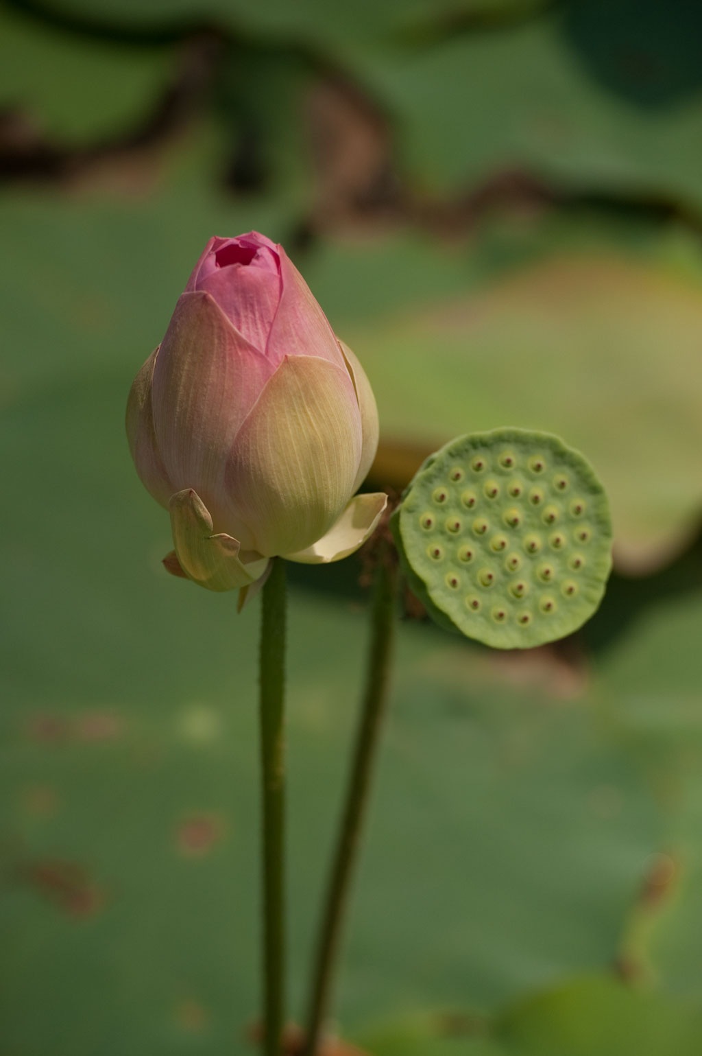 Lotus Flowers III