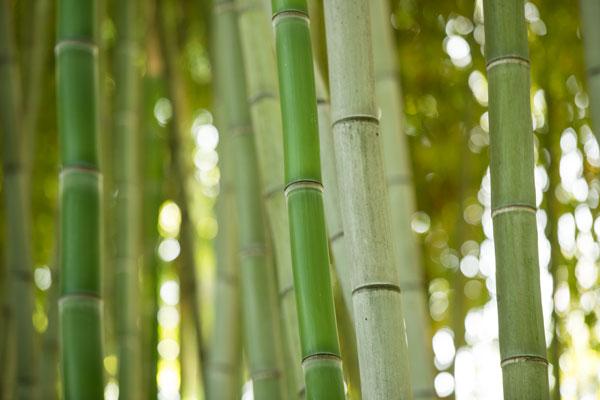 Bamboo & Bokeh I