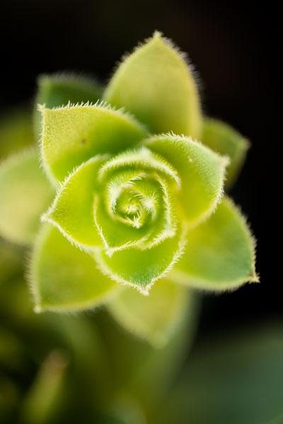 Succulent Blossom II