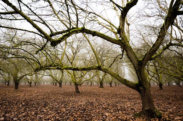 Hazel Tree Grove IV