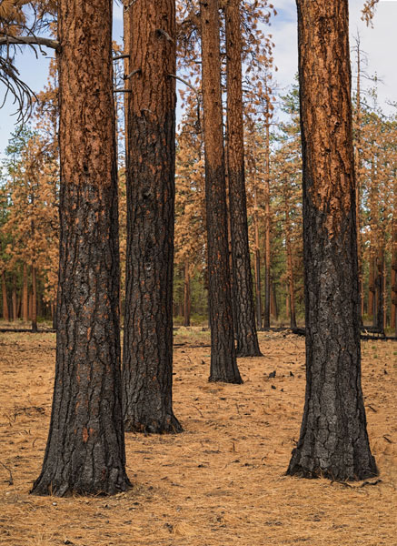 Ponderosa Forest after Fire
