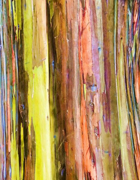 Eucalyptus Bark I