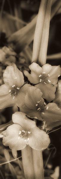 Sepia Spiderwort I