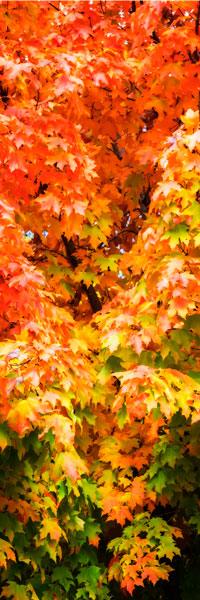 Autumn Maple I