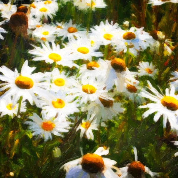 Sunlit Daisies