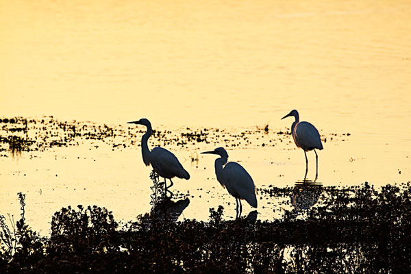 Egrets in the Sunrise 2