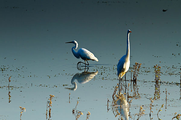 Early Morning Egrets 2