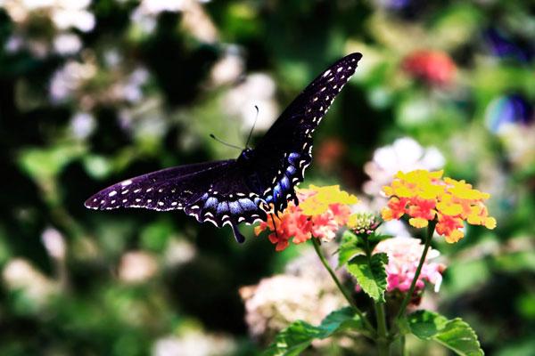 Black Swallowtail II