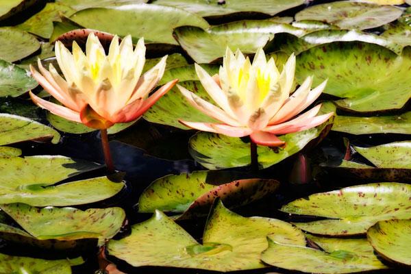Blushing Lilies II