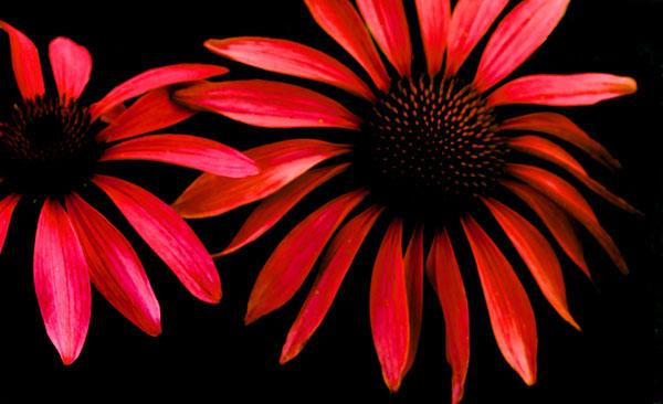 Red Echinacea