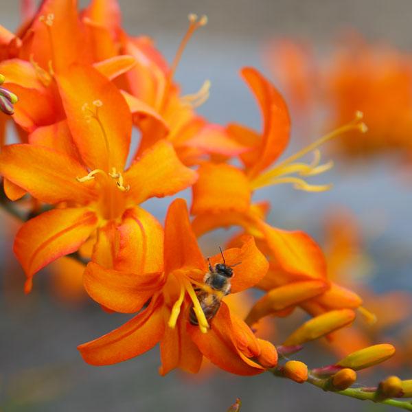 Orange Lilies II