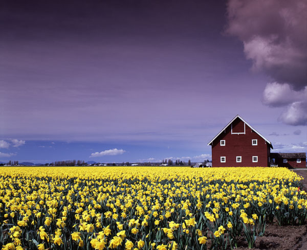 Barn in Daffodils